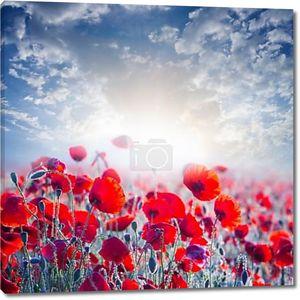 Красный Мак в поле в лучах солнца