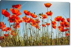 Поле ярко-красных маковых цветов