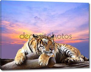 Тигр с красивым небом на закате