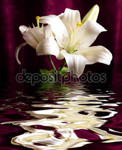 Белая лилия размышляла в воде