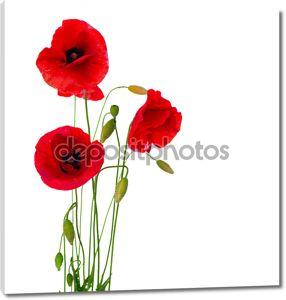 Красный цветок мака, изолированные на белом фоне