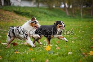 Две австралийские овчарки играть вместе