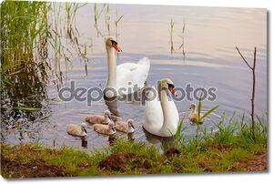Лебеди с птенцами на закате