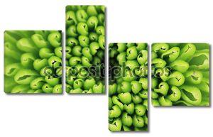 Зеленая хризантема крупным планом