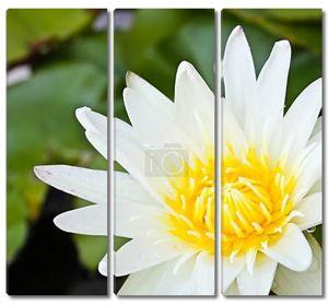Белый цветок лотоса крупным планом
