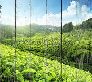 Равнины чайных плантаций