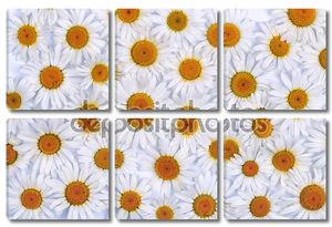Chamomile flowers as background