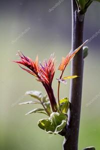 Явор почки и молодые листья весной