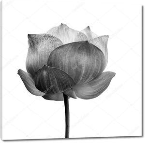 Бутон лотоса в черно-белом на белом фоне .