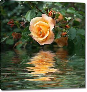 Желтая Роза отражается на воде