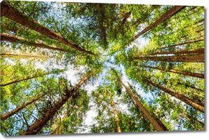 Снизу просмотра старых деревьев в вечнозеленые первобытный лес