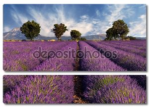 Поле лаванды в Провансе, Франция