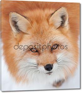 Молодые лисицы, глядя на камеру