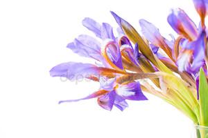 цветок ириса