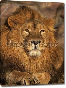 Молодой лев, лежащий в свете заката. красота дикой природы. Царь зверей, самой большой кошкой и наиболее опасного хищника мира. Портрет выразительные животного.