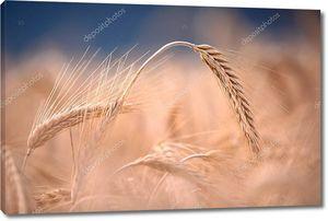Солнечное пшеничное поле