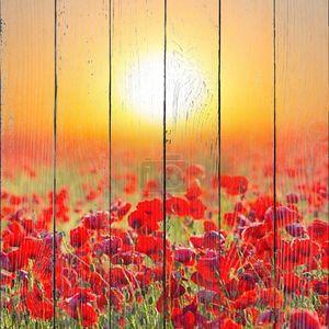 Красный Мак в поле на восход солнца