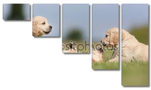 Золотой ретривер щенки с удовольствием