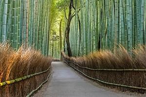 Бамбуковые леса путь в Японии