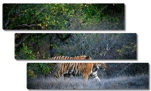 Бенгальский тигр .