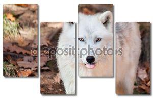 Мелвильский островной волк, торчали его язык на камеру
