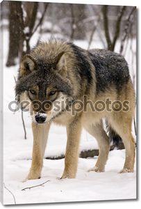 европейский серый волк (волчанка собак)