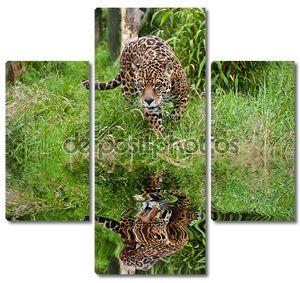 Потрясающие Ягуар Panthera Onca бродит через длинные трава отраж