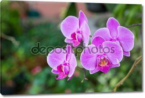 Розовых орхидей