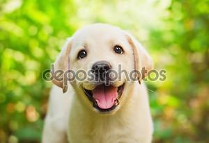 Желтый лаборатории щенок во дворе