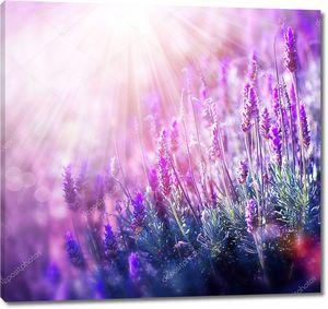 Растущая и цветущая лаванда
