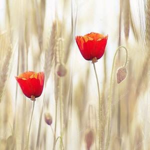 Маки в пшеничном поле