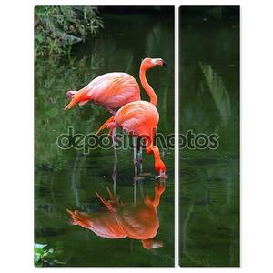 Два розовых фламинго ищут корм в воде