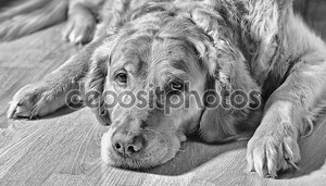 Золотой ретривер собака, лежа на полу