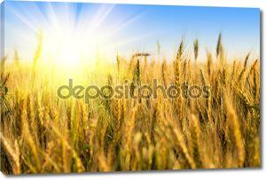 Поле пшеницы с солнечным светом