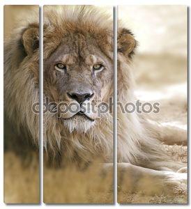 Взрослый лев
