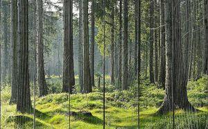 Дымка в сосновом лесу