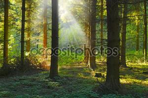 Восход фото в сосновом лесу