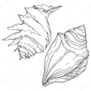 Летний пляж ракушки тропических элементов. Черно-белые выгравированные чернила искусства. Элемент иллюстрации изолированных оболочек.