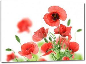 Красивые красные маки, изолированные на белом фоне