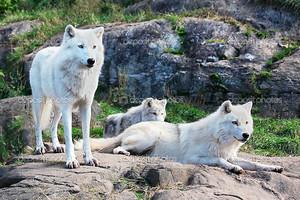 Семья арктических волков