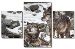 Пара волков на снегу
