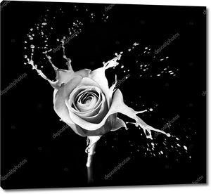 Роза брызг