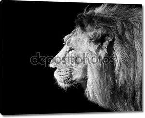 Черный и белый стороне крупным планом лицо портрет азиатского Льва