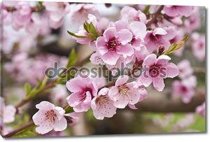 Вишневое розовое дерево в цвету