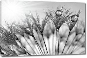 Росистый черно-белый одуванчик