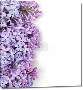 Цветы сирени на белом фоне