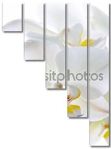 цветы орхидея