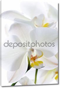 Орхидея изолированная на белом фоне