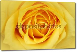 Бутон розы крупным планом