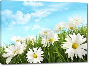 Ромашки белый летом в высокой траве